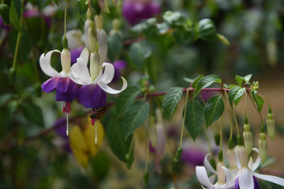 Fuchsia for patio plants